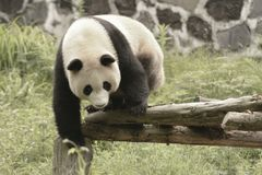 Зона консервации панды, Чэнду стоковое фото