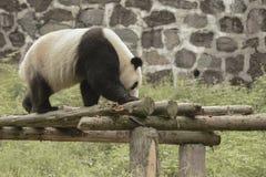 Зона консервации панды, Чэнду Стоковые Фотографии RF