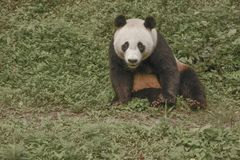 Зона консервации панды, Чэнду Стоковая Фотография RF