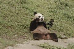 Зона консервации панды, Чэнду стоковое фото rf