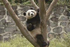 Зона консервации панды, Чэнду стоковые изображения rf