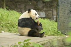 Зона консервации панды, Чэнду Стоковое Изображение RF