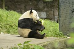 Зона консервации панды, Чэнду стоковая фотография