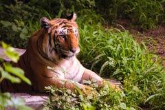 Зона тигра стоковое изображение