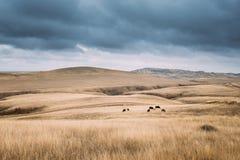 Зона Kakheti, Georgia Коровы есть траву в выгоне осени коровы Стоковые Изображения