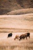 Зона Kakheti, Georgia Коровы есть траву в выгоне осени Стоковая Фотография