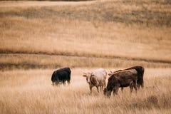 Зона Kakheti, Georgia Коровы есть траву в выгоне осени Стоковое фото RF