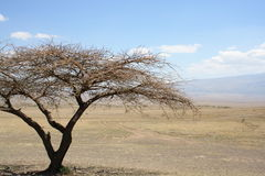 зонтик Африки акации Стоковая Фотография RF