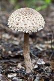 Зонтик гриба Стоковая Фотография