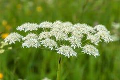 Зонтик цветорасположения белого цветка Стоковая Фотография RF