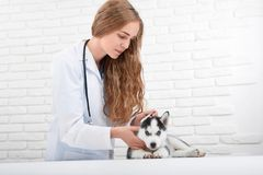 Зооветеринарная проверяя температура тела осиплого щенка Стоковое Изображение RF
