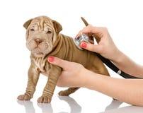 Зооветеринарная рука рассматривая собаку щенка sharpei Стоковые Фотографии RF