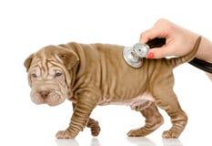Зооветеринарная рука рассматривая собаку щенка sharpei. Стоковое Изображение RF