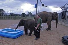 Зоопарк Англия Великобритания Whipsnade индийских слонов Стоковые Фото