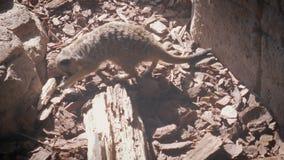 Зоопарк взгляда сверху Meerkat сток-видео