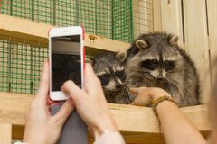 Зоопарк енота petting Стоковая Фотография RF