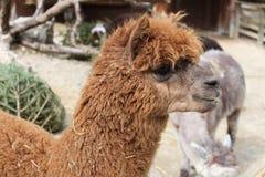 Зоопарк животного лама Стоковая Фотография