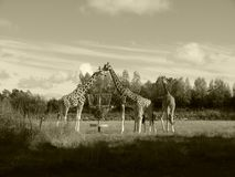Зоопарк жирафа делит еду совместно Стоковое Фото