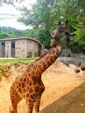Зоопарк жирафа Стоковое Фото