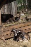 Зоопарк 2 овец на открытом воздухе около амбара есть и лежа в солнце Стоковая Фотография