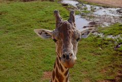 Зоопарк парка сафари живой природы жирафа Стоковая Фотография