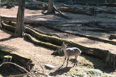 Зоопарк Праги - коза горы младенца Стоковые Фото