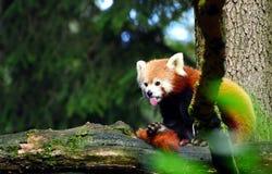 Зоопарк Словения красной панды животный стоковые изображения