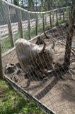 Зоопарк Финляндии бизона AyYoung белый на открытом воздухе за клеткой Стоковые Изображения RF