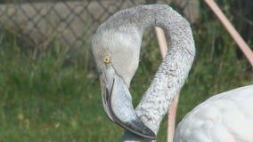Зоопарк фламинго крупного плана головы и шеи сток-видео