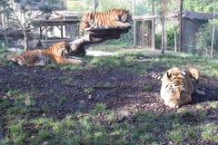 Зоопарк Amneville: тигр дерева стоковые изображения