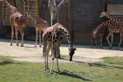 Зоопарк blijdorp жирафа Стоковое Изображение