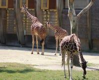 Зоопарк blijdorp жирафа Стоковая Фотография RF