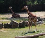 Зоопарк blijdorp жирафа Стоковые Изображения