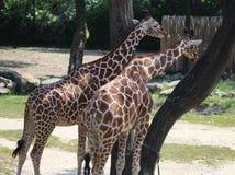 Зоопарк blijdorp жирафа Стоковые Изображения RF