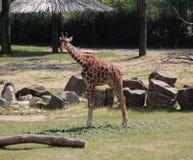 Зоопарк blijdorp жирафа Стоковая Фотография
