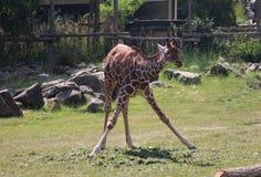 Зоопарк blijdorp жирафа Стоковые Фотографии RF