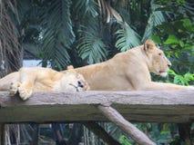 Зоопарк Ragunan, Джакарта Стоковое Изображение RF