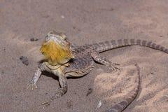 Золотая бородатая ящерица дракона Стоковые Фотографии RF
