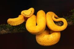 Золотая гадюка ресницы от Коста-Рика Стоковые Изображения RF