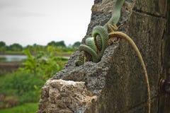 Золотая змейка дерева Стоковое фото RF