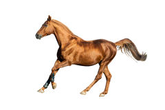 Золотая изолированная лошадь каштана Стоковое Изображение