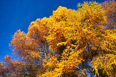 Золотая лиственница стоковое фото rf