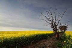 Золотая канола сельская обрабатываемая земля Стоковое Фото