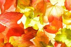 Золотая оранжевая осень (падение) выходит текстура предпосылки Стоковая Фотография