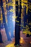 Золотая осень в лесе Стоковые Изображения RF