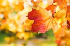 Золотая осень, красные листья Падение, сезонная природа, красивая листва Стоковые Изображения RF