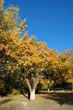 Золотая осень против неба Стоковое Фото