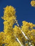 Золотая осина Стоковые Изображения RF