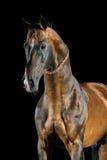 Золотая лошадь Akhal-teke залива на темной предпосылке Стоковые Фотографии RF