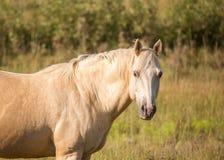 Золотая лошадь Palomino Стоковая Фотография RF